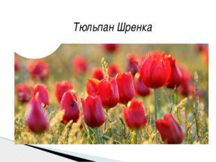 Тюльпан Шренка