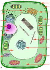 растительная клетка в разрезе