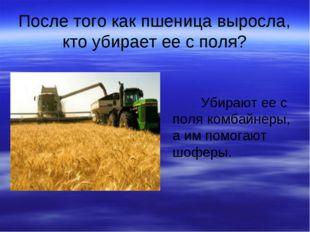 После того как пшеница выросла, кто убирает ее с поля? Убирают ее с поля комб
