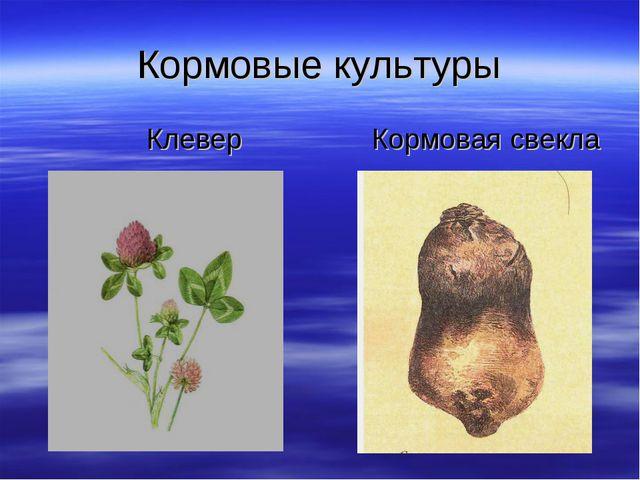 Кормовые культуры Клевер Кормовая свекла