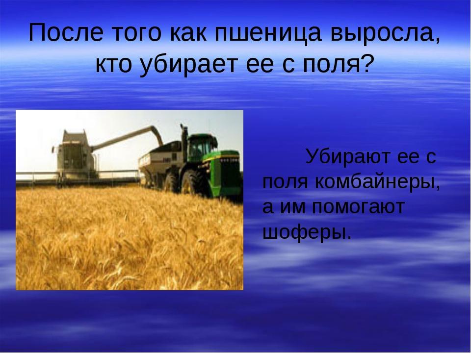 После того как пшеница выросла, кто убирает ее с поля? Убирают ее с поля комб...