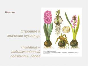 Строение и значение луковицы Луковица – видоизменённый подземный побег Повтор
