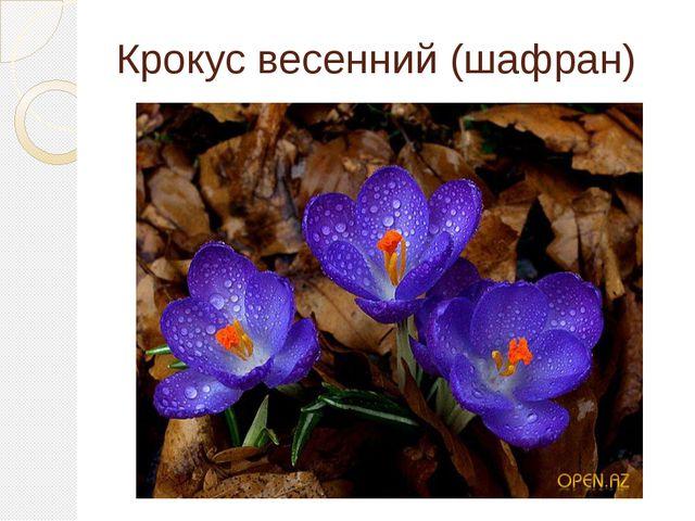Крокус весенний (шафран)