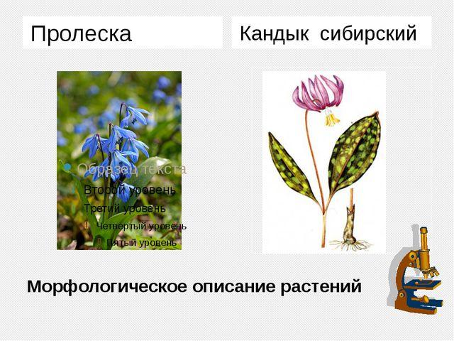 Морфологическое описание растений Пролеска Кандык сибирский