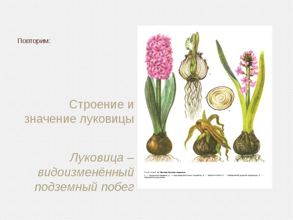 Строение и значение луковицы Луковица – видоизменённый подземный побег Повтор...