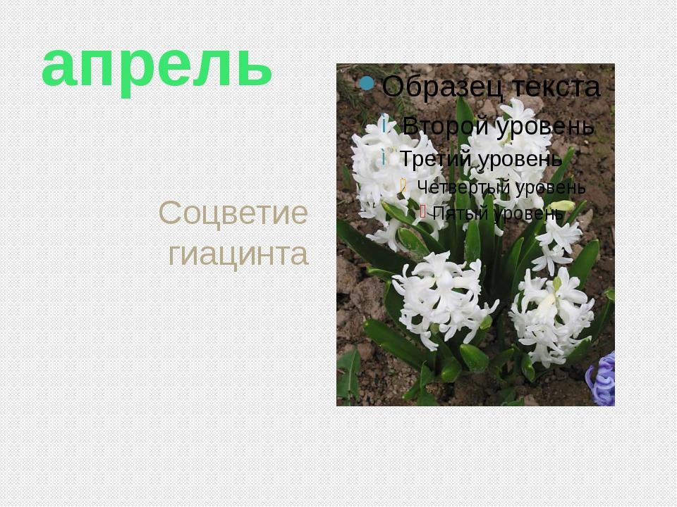 апрель Соцветие гиацинта