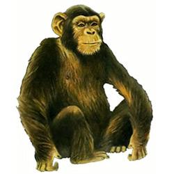 http://hipermir.ru/image/zveri/shimpanze_color.jpg