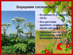 Борщевик сосновского Встречается в лесах и лугах. Все растение ядовитое, особ