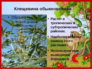 Клещевина обыкновенная Растет в тропических и субтропических районах. Наиболе