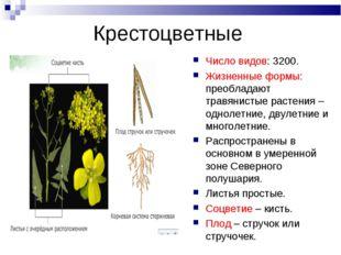 Крестоцветные Число видов: 3200. Жизненные формы: преобладают травянистые рас