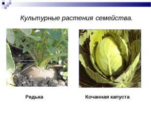 Культурные растения семейства. Кочанная капуста Редька
