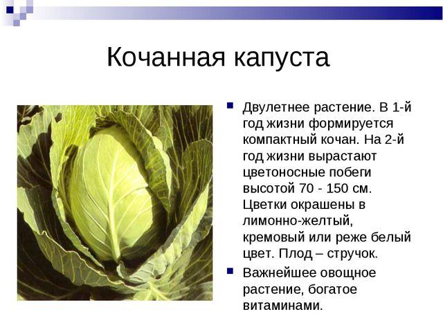 Кочанная капуста Двулетнее растение. В 1-й год жизни формируется компактный к...