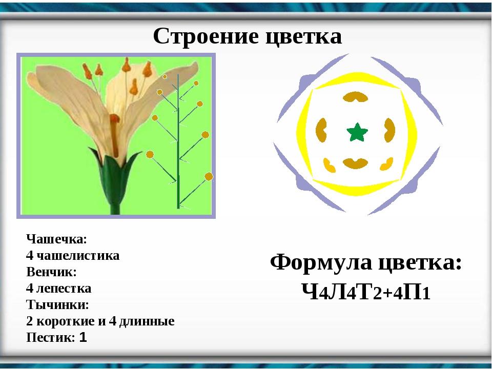 Строение цветка Чашечка: 4 чашелистика Венчик: 4 лепестка Тычинки: 2 коротки...