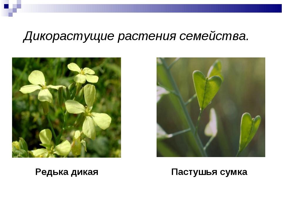 Дикорастущие растения семейства. Редька дикая Пастушья сумка
