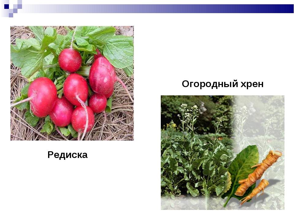 Редиска Огородный хрен