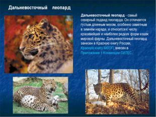 Дальневосточный леопард Дальневосточный леопард - самый северный подвид леопа
