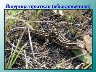 Ящерица прыткая (обыкновенная)
