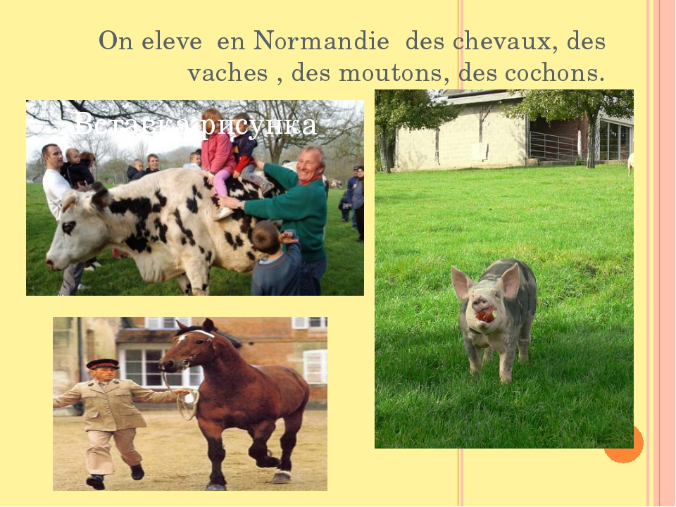 On eleve en Normandie des chevaux, des vaсhes , des moutons, des cochons.