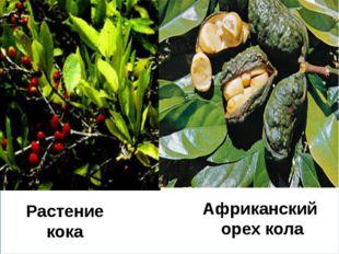 Растение кока Африканский орех кола