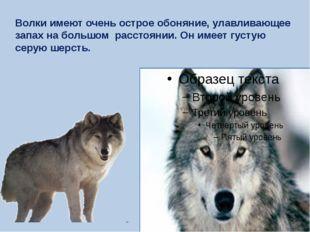 Волки имеют очень острое обоняние, улавливающее запах на большом расстоянии.