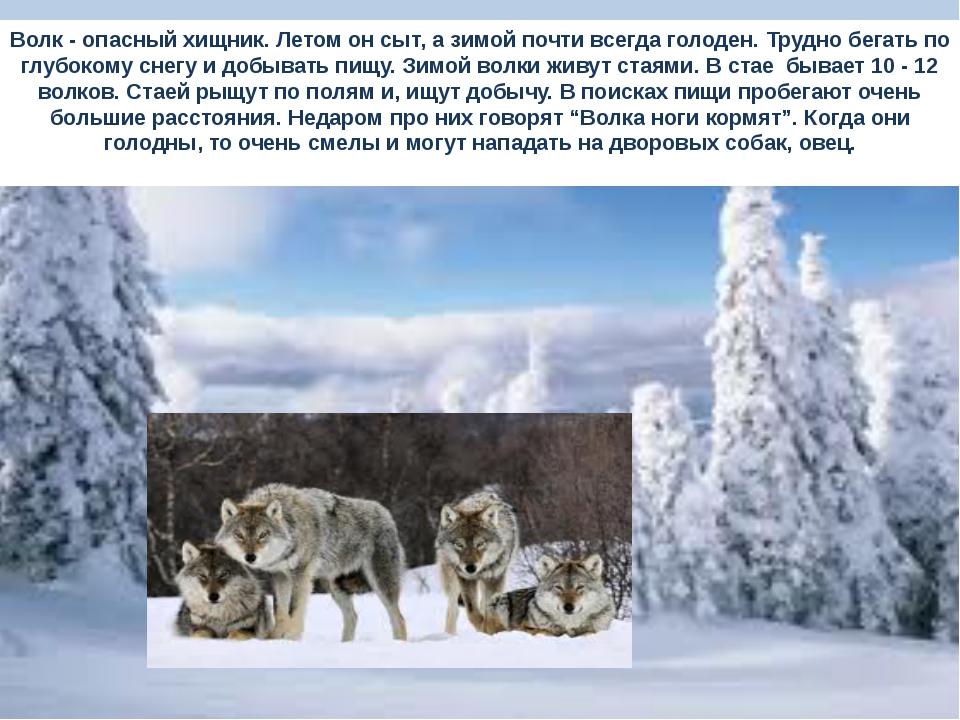 Волк - опасный хищник. Летом он сыт, а зимой почти всегда голоден. Трудно бег...