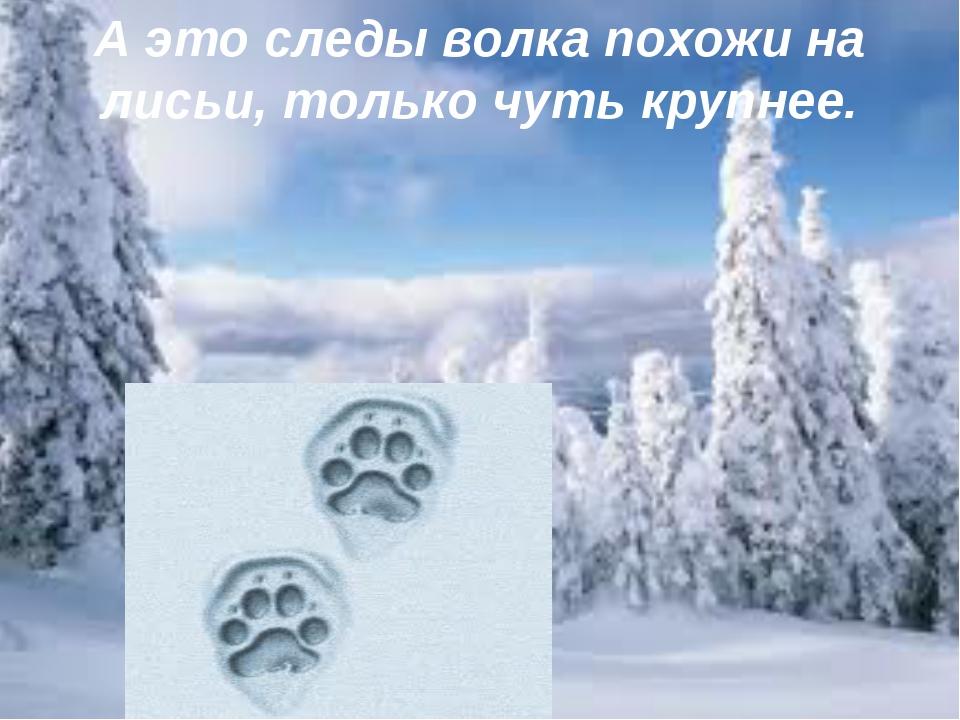 А это следы волка похожи на лисьи, только чуть крупнее.