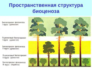 Светолюбивые 1 ярус: дуб, липа, вяз. 2 ярус: рябина, яблоня. Тенелюбивые 3 яр