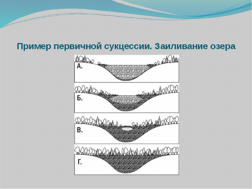 Пример первичной сукцессии. Заиливание озера