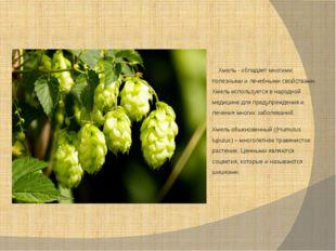 Хмель - обладает многими полезными и лечебными свойствами. Хмель используетс