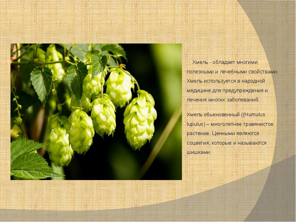 Хмель - обладает многими полезными и лечебными свойствами. Хмель используетс...