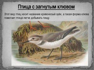 Птица с загнутым клювом Этот вид птиц носит название кривоносый зуёк, а такая