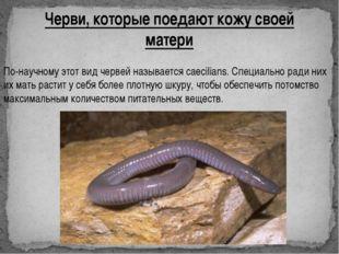 Черви, которые поедают кожу своей матери По-научному этот вид червей называет