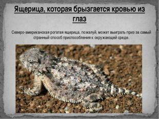 Ящерица, которая брызгается кровью из глаз Северо-американская рогатая ящериц
