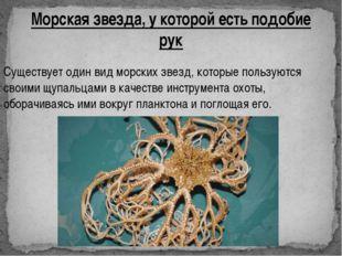 Морская звезда, у которой есть подобие рук Существует один вид морских звезд,