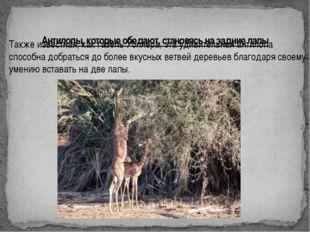 Антилопы, которые обедают, становясь на задние лапы Также известная, как газе