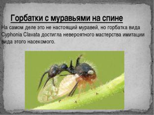 Горбатки с муравьями на спине На самом деле это не настоящий муравей, но горб
