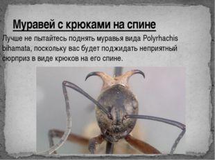 Муравей с крюками на спине Лучше не пытайтесь поднять муравья вида Polyrhachi