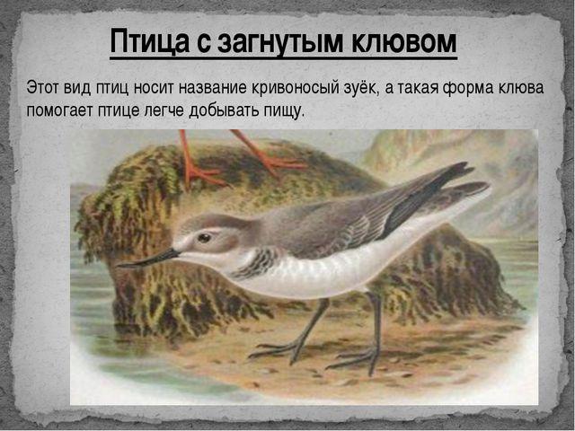 Птица с загнутым клювом Этот вид птиц носит название кривоносый зуёк, а такая...