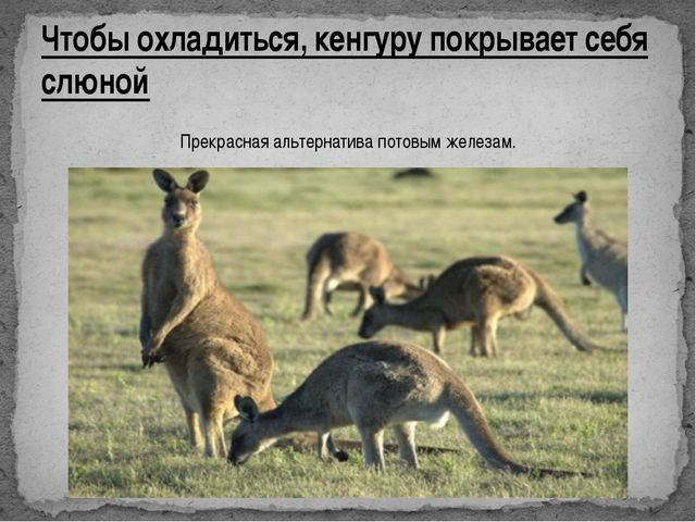 Чтобы охладиться, кенгуру покрывает себя слюной Прекрасная альтернатива потов...
