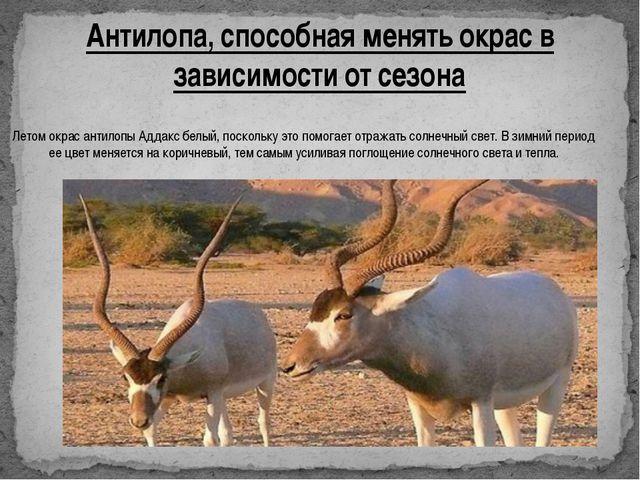 Антилопа, способная менять окрас в зависимости от сезона Летом окрас антилопы...