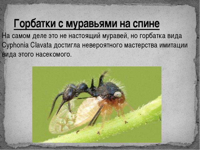 Горбатки с муравьями на спине На самом деле это не настоящий муравей, но горб...