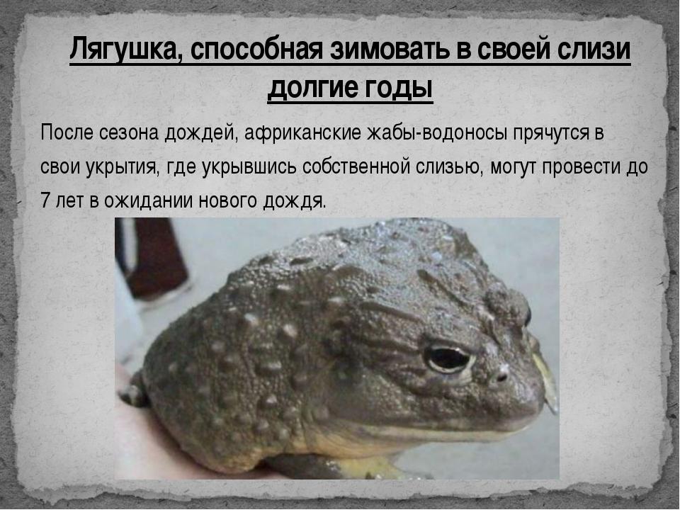 После сезона дождей, африканские жабы-водоносы прячутся в свои укрытия, где у...