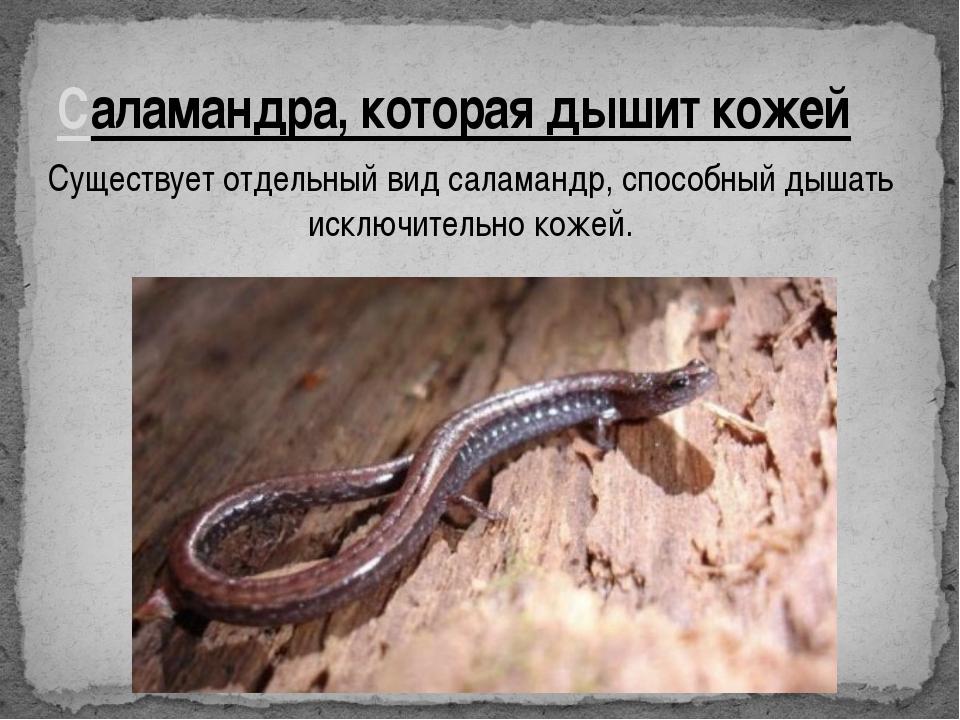 Саламандра, которая дышит кожей Существует отдельный вид саламандр, способный...