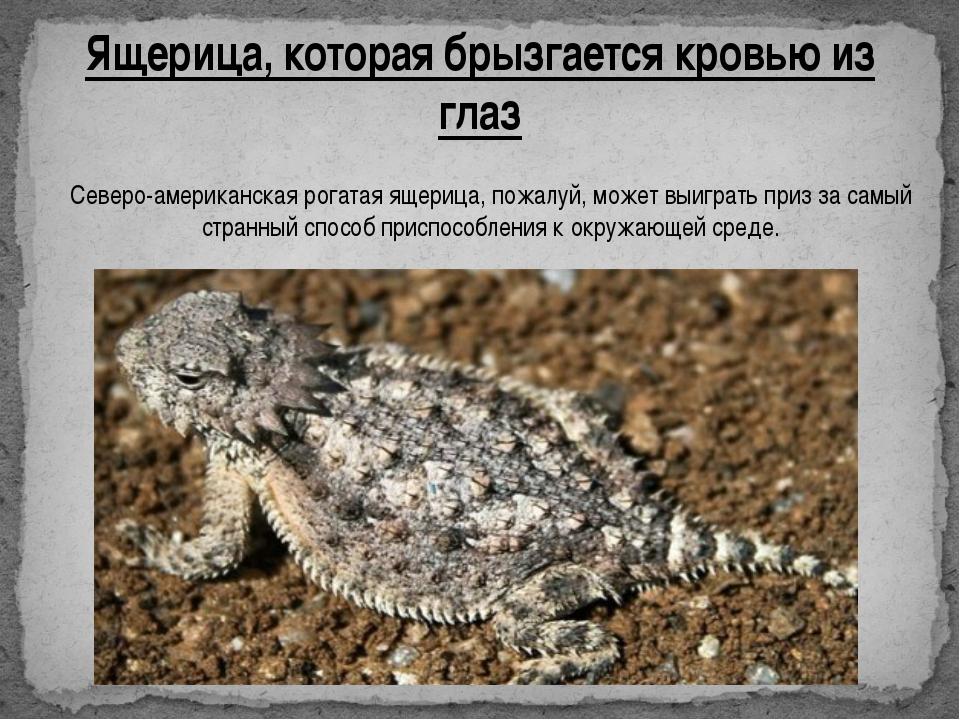 Ящерица, которая брызгается кровью из глаз Северо-американская рогатая ящериц...