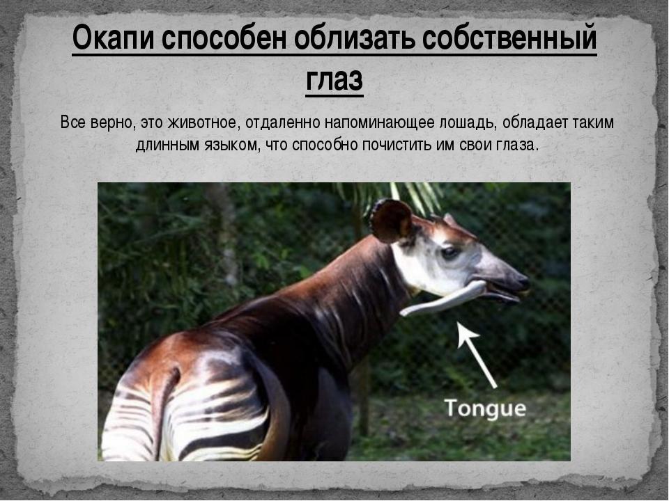 Окапи способен облизать собственный глаз Все верно, это животное, отдаленно н...