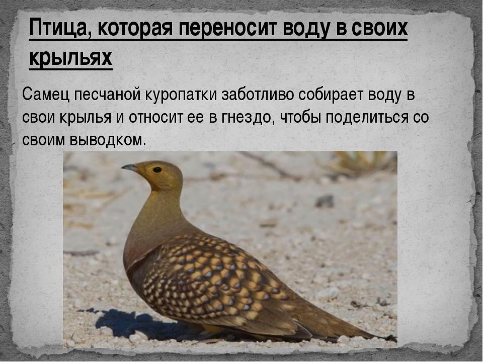 Птица, которая переносит воду в своих крыльях Самец песчаной куропатки заботл...