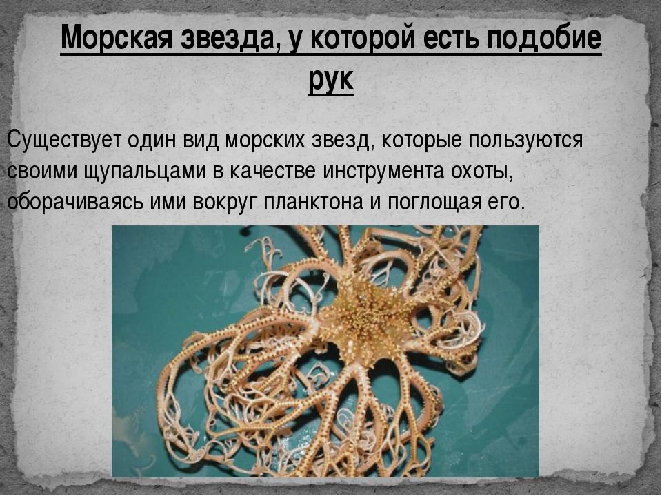 Морская звезда, у которой есть подобие рук Существует один вид морских звезд,...