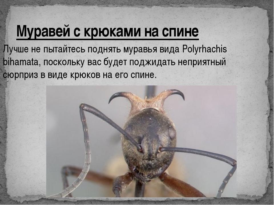 Муравей с крюками на спине Лучше не пытайтесь поднять муравья вида Polyrhachi...