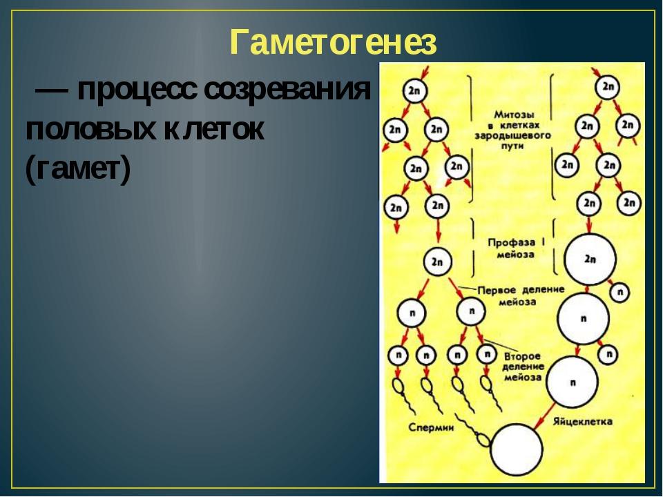 Гаметогенез — процесс созревания половых клеток (гамет)
