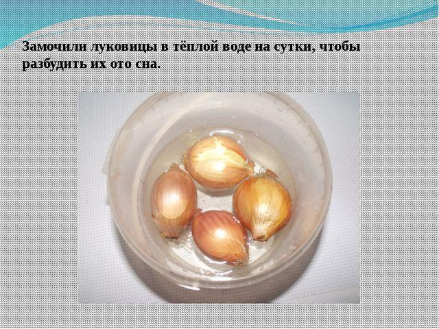 Замочили луковицы в тёплой воде на сутки, чтобы разбудить их ото сна.